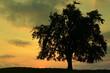 arbre isolé un soir de juillet