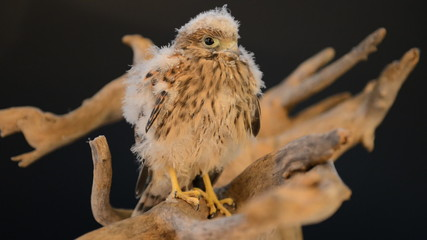 young chick hawk sitting on a wooden driftwood