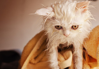 Funny wet white Persian kitten