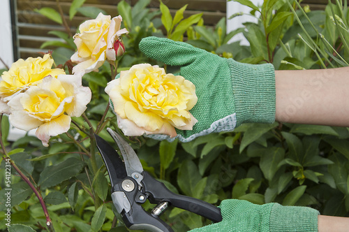 Cutting rose