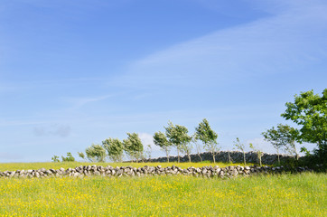 Stone boundry walls in field of buttercups.