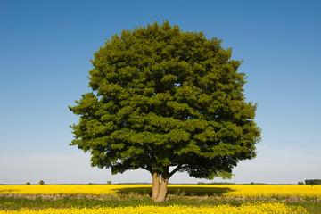 Tree and rape fields