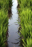 Rice fields,Albufera nature reserve,Valencia,Spain