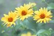 cute yellow daisies