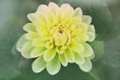 soft yellow dahlia
