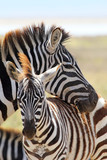 Fototapety Baby zebra with mother