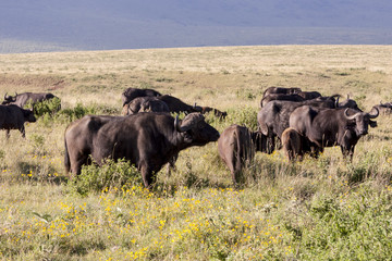 Grazing Buffaloes In Africa