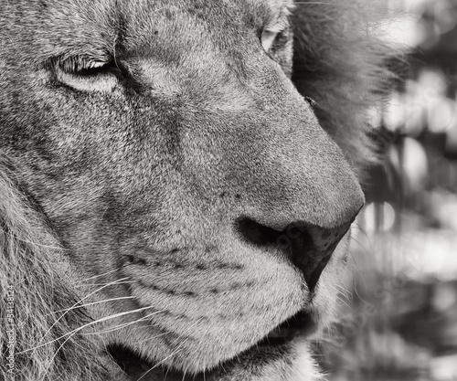 Fototapeten,löwe,panthera,schwarzweiß,schwarzweiß