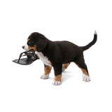 little puppy of bernese mountain dog playing on white background