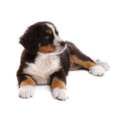 little puppy of bernese mountain dog on white background