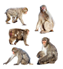 Set of few Japanese macaques