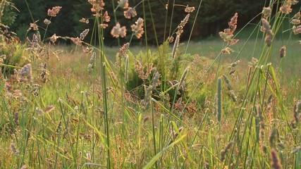 grasshalme bewegen sich auf sommerwiese im wind