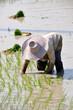 Thai farmer planting on the paddy rice farmland