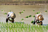 Thai farmers planting on the paddy rice farmland