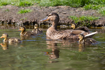 Mother duck with five ducklings