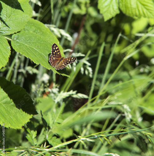 speckled wood butterfly (Pararge aegeria) on leaf
