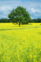 Tree and yellow rape field