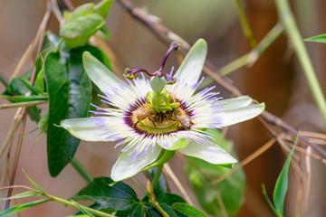 Passiflora - Fiore con api