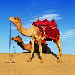 camels in Rajasthan desert, India