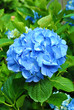 Perfect Summer Blue Hydrangea