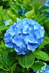 Perfect Summer Blue Hydrangea