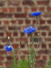 kornblume vor ziegelmauer