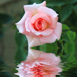 la rose....rose