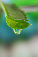 Aloe leaf with drop on natural background