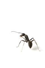 クロオオアリ-Camponotus japonicus