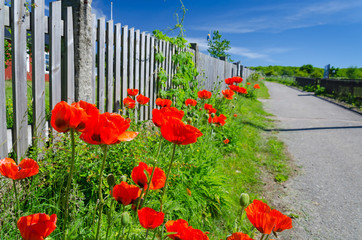 Poppy seed flowers on the road side