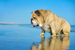 Funny dog bulldog sitting in the water looking on his reflection