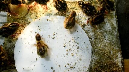 Nestling quails several hours after hatching