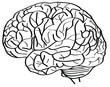 Human Brain Vector Outline Sketched Up.