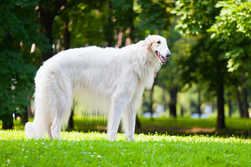 Beautiful dog breed Russian Borzoi
