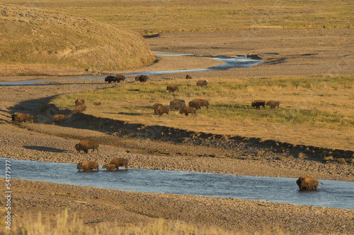 Keuken foto achterwand Buffel Buffalo Bison in Yellowstone