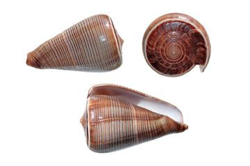 Shells of Conus figulinus isolated on white