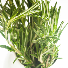 rosemary close up