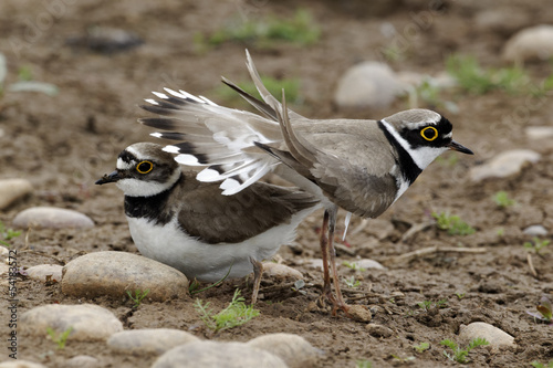Little-ringed plover, Charadrius dubius