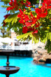 Flame tree with red flowers (Delonix regia) near swimming pool a