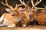 Axis deers in safari park. Central Israel. poster