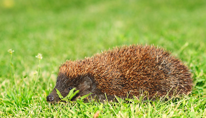 Hedgehog in the green grass