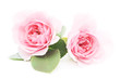 canvas print picture - Pink Roses