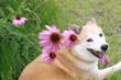 笑顔の犬とエキナセア