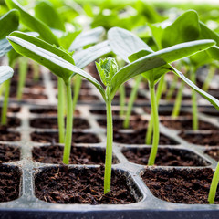 Young seedlings of cucumbers in tray
