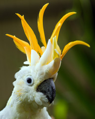 Portrait of Sulphur Crested Cockatoo (Cacatua galerita)