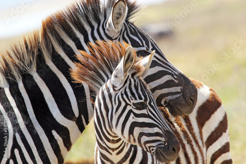 Fotobehang Zebra Baby zebra with mother