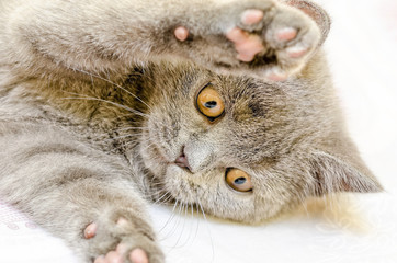 British Shorthair Cat Playing