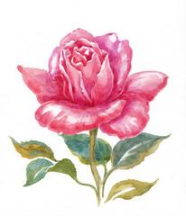Роза на белом фоне, акварель.