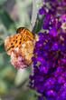 Farfalla si fiore viola