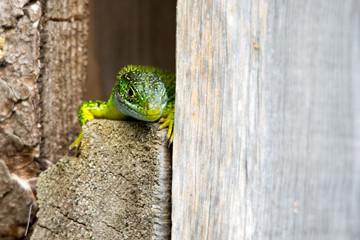Ramarro, lucertola verde